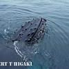 humpbacks-head