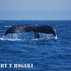 humpbacks-4
