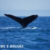 humpbacks-5
