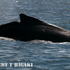 humpbacks-17