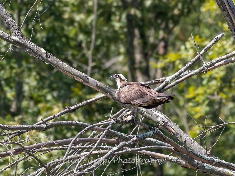 Huntley Meadows Birds 4 Sept 2017-6441