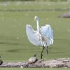 Huntley Meadows Birds 4 Sept 2017-6104
