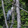 Huntley Meadows Birds 4 Sept 2017-6096