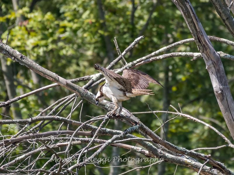 Huntley Meadows Birds 4 Sept 2017-6452