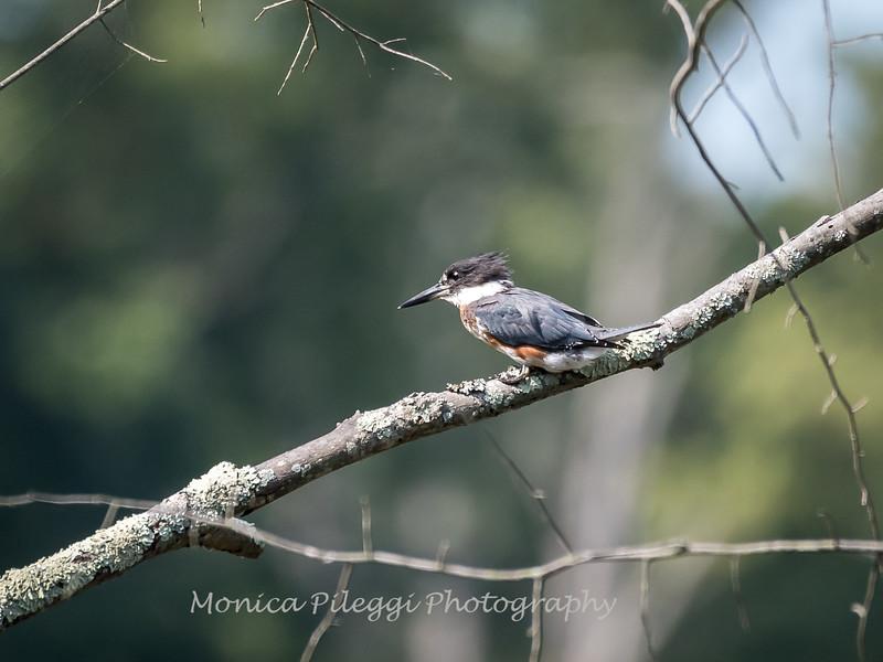 Huntley Meadows Birds 4 Sept 2017-6268