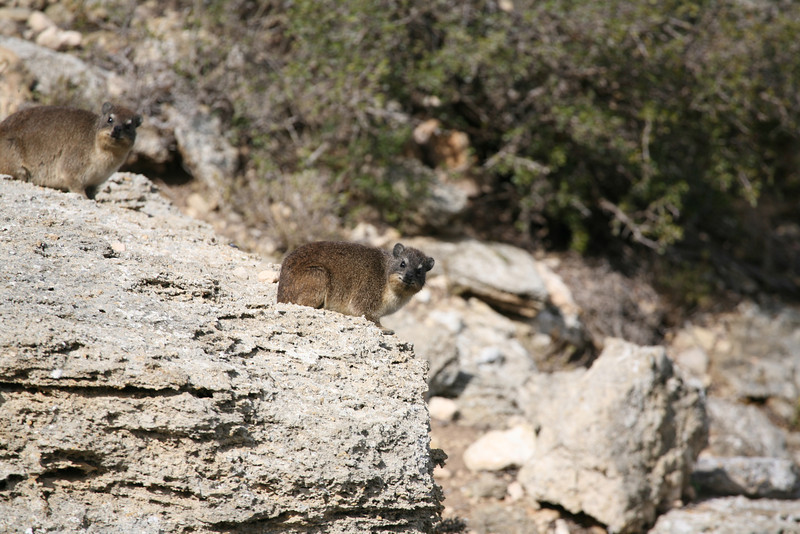Dassie, also known as a rock rabbit or hyrax, sunning itself on a rock