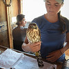 Juvenile male Cooper's Hawk, getting weighed, measured, checked for parasites, and banded.