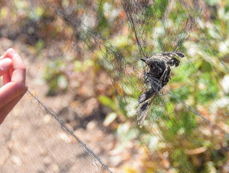 Flycatcher in the net.