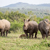 A formidable force - three white rhinos.