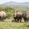 A formidable force - three white rhinos.