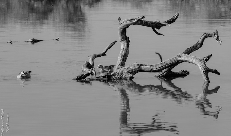 Two Egyptian geese - B&W.