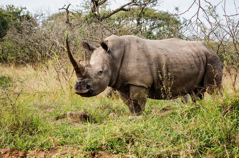 White rhino with a formidable horn.