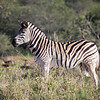 Zebra on the lookout for predators.
