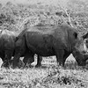 Two white rhinos in Black & White