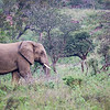 iMfolozi Game Reserve, grazing elephant