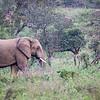iMfolozi Game Reserve, grazing elephant