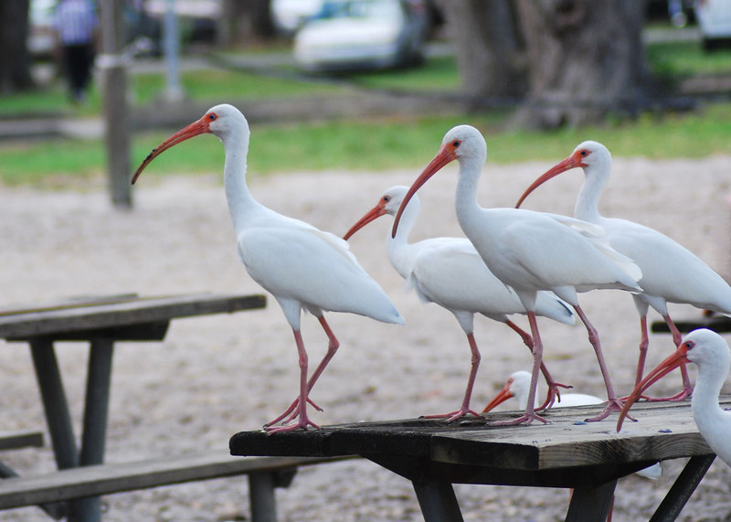 Hungry Ibis flock