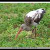 Juvenile Ibis