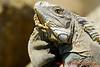 12-30-2013-Iguana5