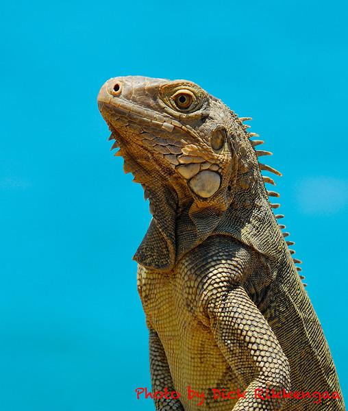 12-30-2013-Iguana2