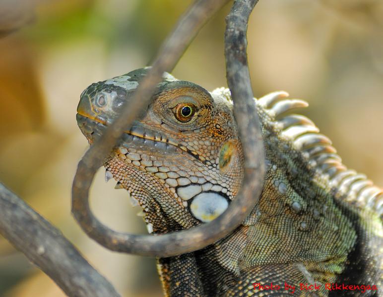 12-30-2013-Iguana6