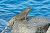 2012-Sept-02-Iguana5_017