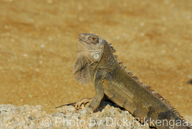 2012-Sept-02-iguana2_014
