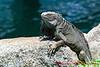12-30-2013-Iguana1