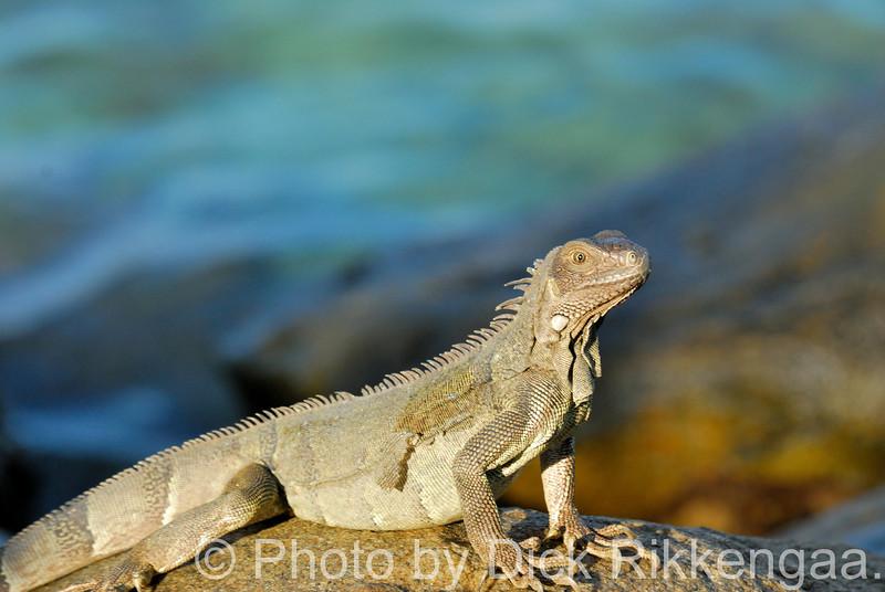 2012-Sept-02-Iguana7_019