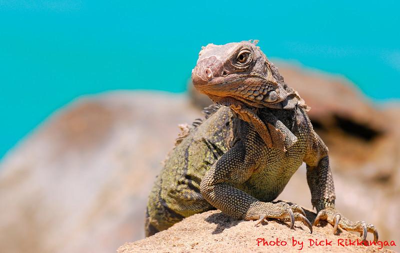 12-30-2013-Iguana3