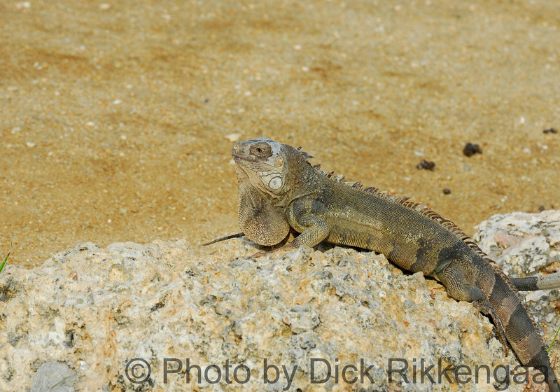2012-Sept-02-Iguana4_016