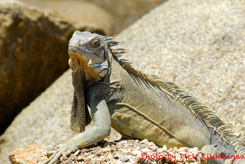 12-30-2013-Iguana4