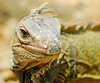 12-30-2013-Iguana7