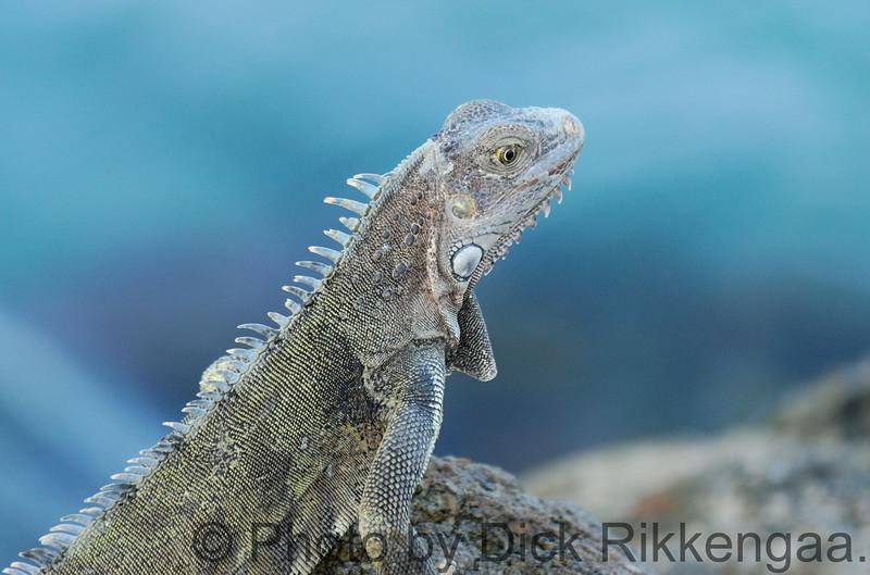 2012-Sept-02-Iguana8_020