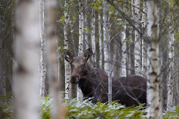 I was playing hide-and-seek with a moose.