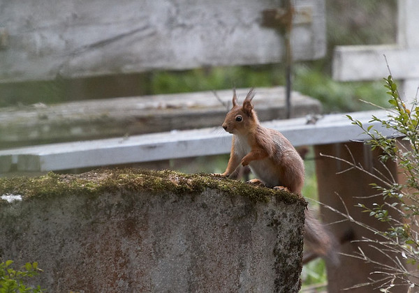 Orav, Red Squirrel