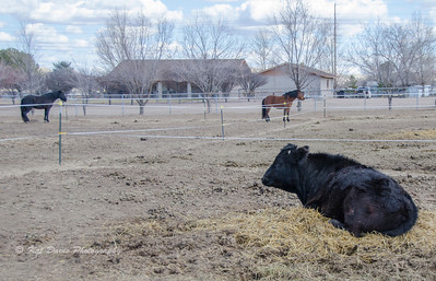 There is even a rescued steer on the property.