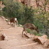 Deer on Bright Angel Trail - 7:30am - Grand Canyon