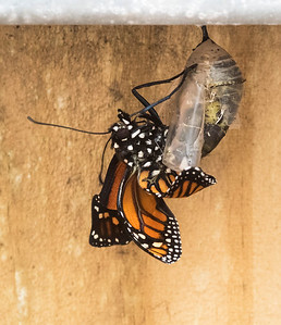 Butterflies Born