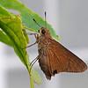 Monk Skipper (Asbolis capucinus)