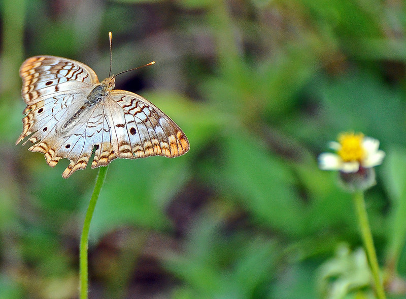 White Peackock (Anartia jatrophae)