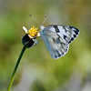 Checkered White (Pontia Prododice)
