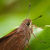 Monk Skipper Butterfly Close Up