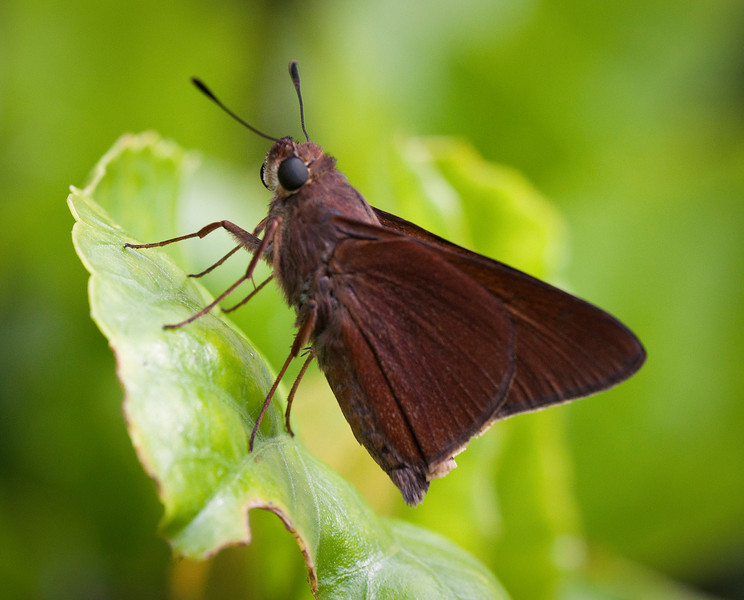 Monk Skipper Butterfly