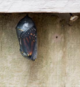 Butterfly Born 10-31-17