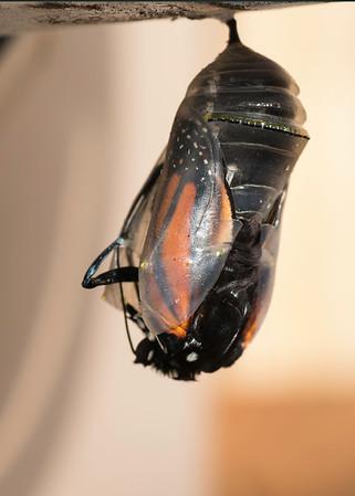 Butterfly Born 12-31-14