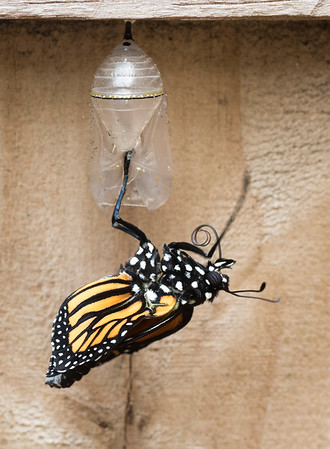 Butterfly Born 3-21-16