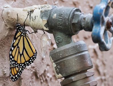 Butterfly Born 5-29-16