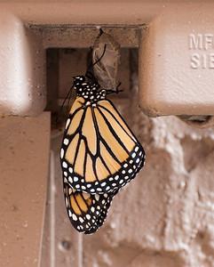 Butterfly Born 4-7-14