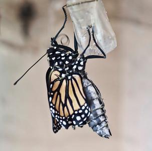Butterfly Born 5-17-13